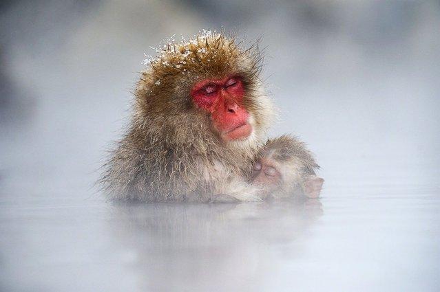 Japanese Macaques, Jigokudani Yaen Koen, Yamanouchi, Shimotakai District, Nagano Prefecture, Japan. (Photo by Jasper Doest)