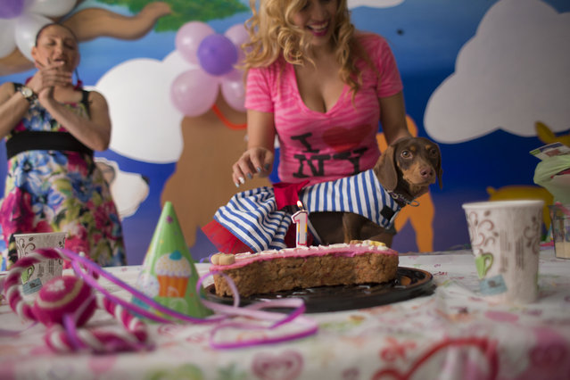 In this Sunday, April 6, 2014 photo, Valery Palma prepares to blow out the candle on a birthday cake for her one-year-old dachshund Camila, at Camila's birthday party in Mexico City. Palma, who has two dogs, spent $300 on the birthday party for 11 canines and 16 people, complete with cake, presents and snacks, at a dog hotel featuring a gym and massage and aromatherapy services. (Photo by Rebecca Blackwell/AP Photo)