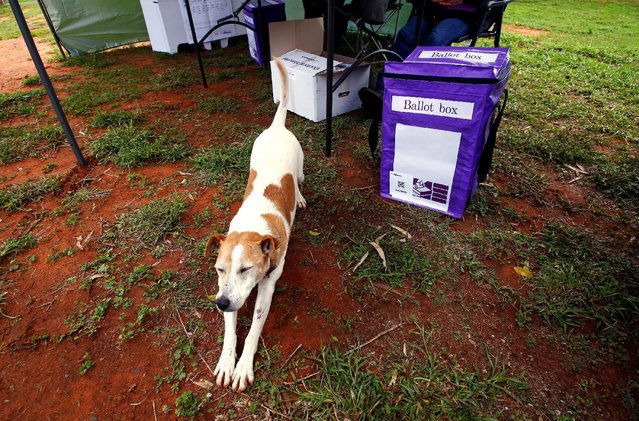 A dog stretches next to a ballot box in the remote voting station in the western New South Wales outback town of Enngonia, Australia, June 22, 2016. Social worker Kelly Ann Mackay and goat farmer Heather McInerney have made sure even those in the most remote parts of the New South Wales outback get a vote in Saturday's Australian elections. The duo are one of three Australian Electoral Commission (AEC) teams that set up 10 temporary booths over a 393,473 square km stretch of outback that is home to 107,409 of the state's 5 million registered voters. (Photo by David Gray/Reuters)