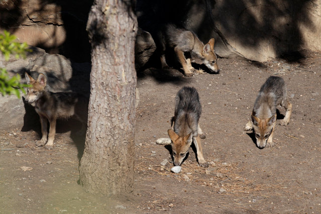 Newly born Mexican gray wolf cubs, an endangered native species, are seen at its enclosure at the Museo del Desierto in Saltillo, Mexico, July 19, 2016. (Photo by Daniel Becerril/Reuters)