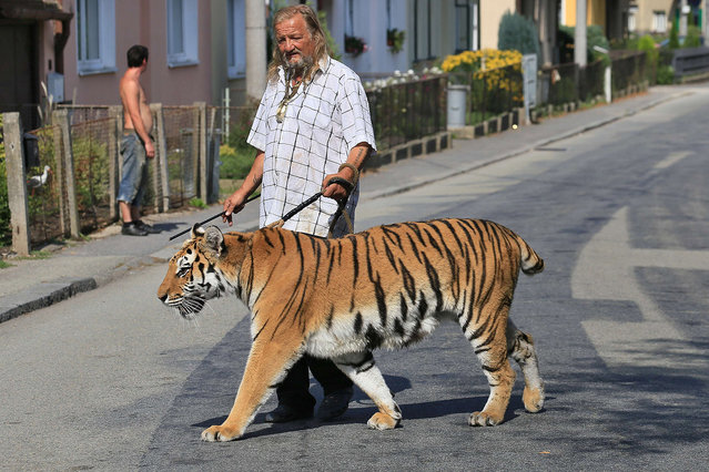 Owner and trainer of circus animals Jaromir Joo goes for a walk with his tiger Taiga in Letovice, Czech Republic, on August 30, 2015. (Photo by Radek Mica/AFP Photo)