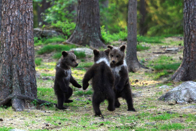 A family of baby brown bears appear to be dancing to Ring a Ring o' Roses as their mother relaxes behind a tree nearby. (Photo by Valtteri Mulkahainen/Solent News & Photo Agency)