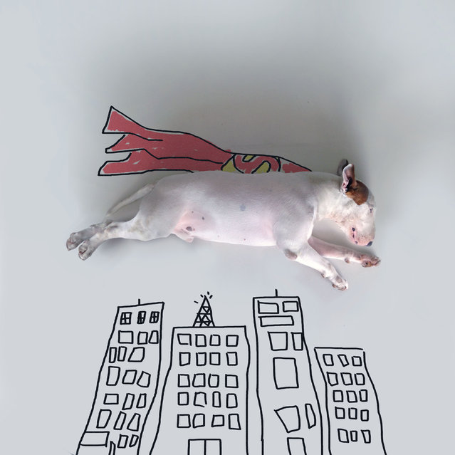 Jimmy Choo as superman. A keen pet owner has created a series of quirky poster-style artworks- with his photogenic pet pooch as the star. Rafael Mantesso, 31, a co-founder of a gastronomy institute, from Carangola, Minas Gerais, Brazil spends his time shooting pictures of five-year-old bull terrier dog Jimmy Choo in different everyday poses- complete with Rafaels hand drawn illustrations. (Photo by Rafael Mantesso/Caters News)