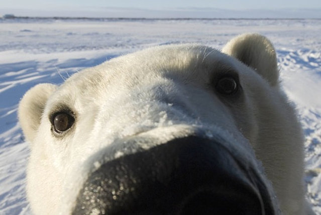 Polar Bear Photo Steven Kazlowski