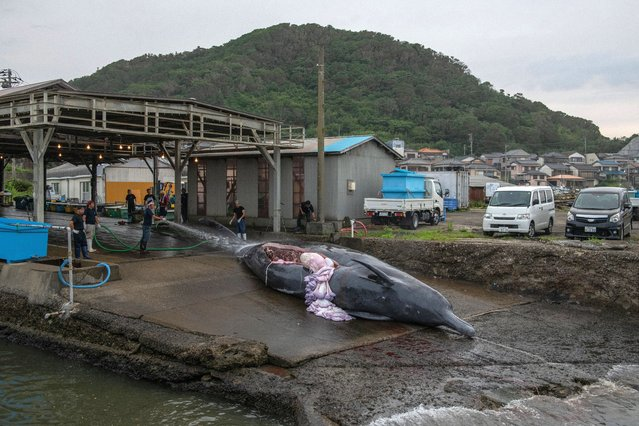 A 10.5 metre Baird's Beaked Whale is winched into a slaughterhouse on July 21, 2020 in Wada Port, Chiba, Japan. Despite criticism following Japans withdrawal from the International Whaling Commission (IWC) last year, the country has resumed limited commercial whale fishing after an effective ban of over 30 years. Japan has long claimed that whale hunting is a part of its culture, with some coastal communities having hunted the mammals for over 400 years and the meat considered a national delicacy. (Photo by Carl Court/Getty Images)