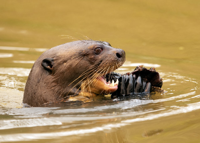 An otter eats a fish at the Encontro das Aguas park at the Pantanal wetlands near Pocone, Mato Grosso state, Brazil, Saturday, September 12, 2020. (Photo by Andre Penner/AP Photo)