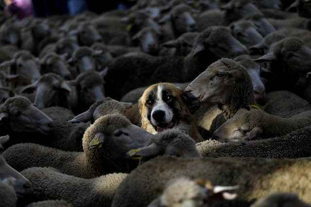 A shepherd dog stands among sheep led by shepherds through Madrid city centre, Spain, Sunday, October 25, 2015. (Photo by Daniel Ochoa de Olza/AP Photo)