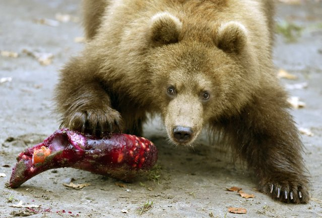 A Kamchatka Brown Bear cub eats frozen fruits during a Christmas feeding session at Hagenbecks zoo in Hamburg, northern Germany on December 5, 2014. (Photo by Fabian Bimmer/Reuters)