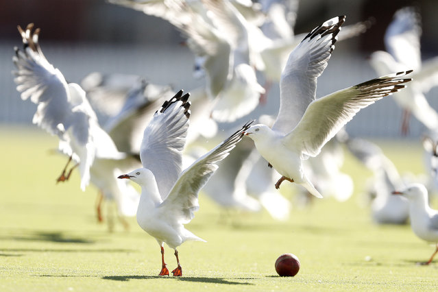 Gulls dodge a cricket ball during day three of the Round 9 JLT Sheffield Shield cricket match between Victoria and New South Wales at Junction Oval on March 6, 2018 in Melbourne, Australia. (Photo by Daniel Pockett/AAP)