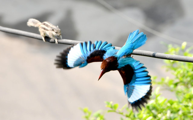 A squirrel crawls along an electrical cable as a kingfisher takes off from it in New Delhi, India, October 24, 2020. (Photo by Chine Nouvelle/SIPA Press/Rex Features/Shutterstock)