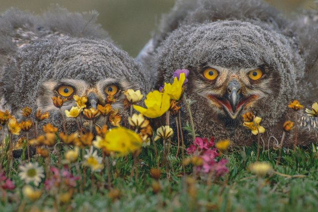 "Snowy owlets (Bubo scandiacus), Arctic National Wildlife Refuge, Alaska, USA. ""A pair of gray-feathered snowy owlets hunker down in the abundant flowers that flourish in the dropping-enriched soil of their nest mound"". (Photo by Art Wolfe/Art Wolfe Stock)"