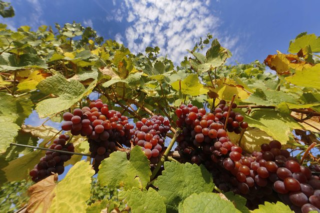 Bunches of grapes hang from the vine in a vineyard in Alsace, before their harvest in Orschwihr, France, in this September 26, 2015 file photo. (Photo by Jacky Naegelen/Reuters)