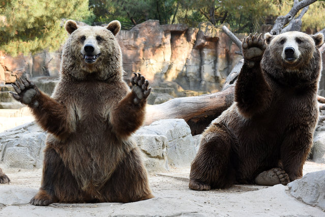 Brown bears pictured waiting for food at Madrid zoo on July 27, 2016 in Madrid, Spain. (Photo by Jorge Sanz/Pacific Press/Barcroft Images)