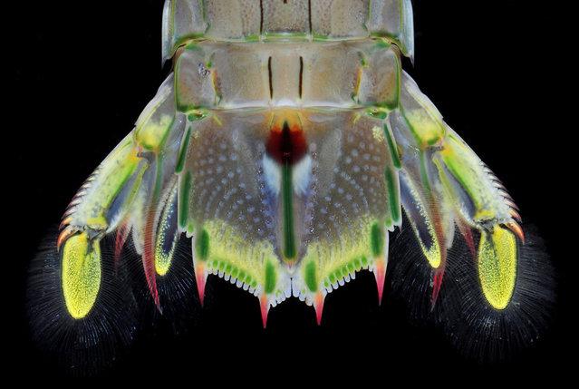 Mantis shrimp tail fan (Oratosquillina inornata); Straits of Johore, October 2012. (Arthur Anker)