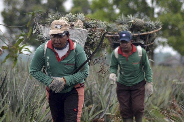 Workers carry pineapples as they walk at Tangkit Baru farmland in Muaro Jambi, Jambi province, in this December 22, 2014 picture taken by Antara Foto. (Photo by Wahdi Septiawan/Reuters/Antara Foto)