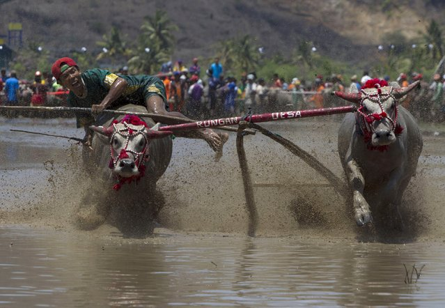 A jockey tries to control his water buffalo during a traditional Barapan Kebo or buffalo races,  in Taliwang, on the island of Sumbawa, West Nusa Tenggara, Indonesia November 22, 2015. (Photo by Sigit Pamungkas/Reuters)