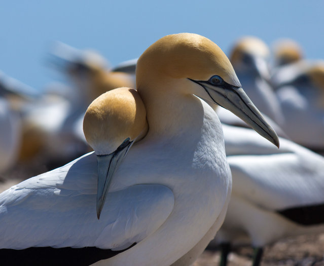 """""""Partnership"""". Spring at cape kidnappers gannet and the birds were preparing to nest after a winter at sea. The pairs of gannets were reaffirming their bonds allowing me to capture this shot of a couple of birds sharing a tender moment. Location: Cape Kidnappers, south island, New Zealand. (Photo and caption by Michael Harrop/National Geographic Traveler Photo Contest)"""