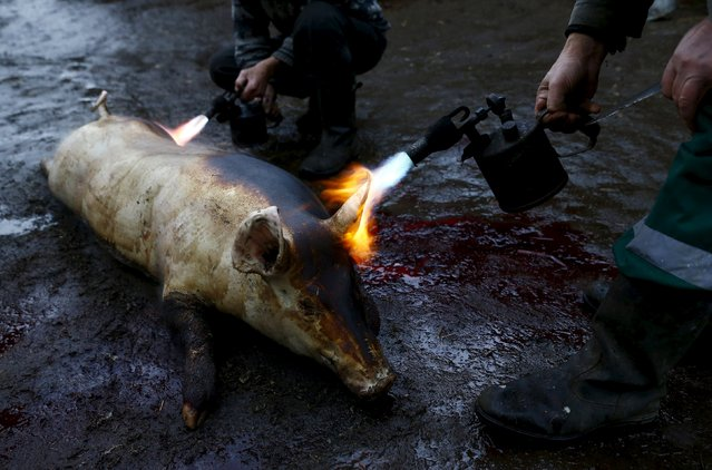 Belarusian men prepare a pig using a blow torch after slaughtering it in the village of Azerany, Belarus, December 12, 2015. (Photo by Vasily Fedosenko/Reuters)
