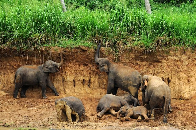 A herd of elephants from the Pinnawela Elephant Orphanage are pictured at the village of Pinnawela, some 90kms north-east of Colomb, on July 25, 2013. (Photo by Ishara S. Kodikara/AFP Photo)