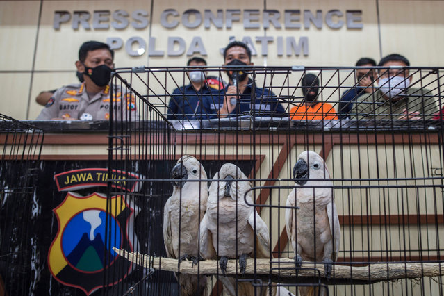 Cockatoos under the custody of Indonesian nature conservation agency officials are seen during a press conference in Surabaya on February 17, 2021, after police arrested two suspected animal smugglers and seized various animals including birds of prey, fifteen cockatoo parrots and eight langurs. (Photo by Juni Kriswanto/AFP Photo)