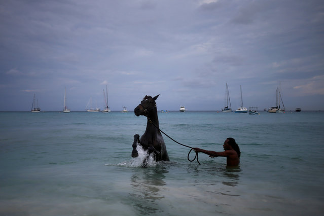 A handler baths a horse from the Garrison Savannah in the Caribbean Sea near Bridgetown, Barbados November 30, 2016. Horses involved in the celebrations to mark 50 years of independence in Barbados were in peak condition after getting scrubbed clean in the sea ahead of the ceremony. The horses from the Garrison Savannah were given a wash early this morning before they were involved in the activities in the country's capital Bridgetown. Prince Harry was a guest at the celebrations, who is visiting the Caribbean to mark the 35th anniversary of independence in Antigua and Barbuda as well as the 50th anniversary of independence in Barbados and Guyana. (Photo by Adrees Latif/Reuters)