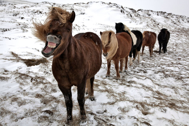 A queue of horses. One looks at the camera and laughs. See the beautiful images of horses gleefully playing in Iceland mountain ranges. The horses have been spotted smiling and cuddling in remote locations across the nation. Bragi J. Ingibergsson, who goes by the name of Brin, captured the images and has been taking pictures of horses since he was a kid. Brin, 55, said: I love taking pictures of horses, they are very playful. I dont get them to smile, It is a question of luck and patience to get horses smiling in pictures. (Photo by Bragi J. Ingibergsson/Caters News)