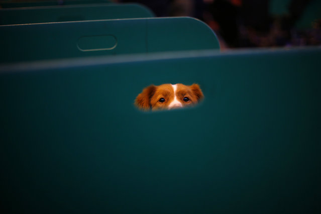 A Retriever looks from its bench during the first day of the Crufts Dog Show in Birmingham, central England, March 5, 2015. (REUTERS/Darren Staples)