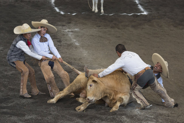 "In this February 28, 2015 photo, teammates struggle to lift a bull off the trapped leg of a charro, during the bull riding event at a charreada in Mexico City. National Charros Association President Manuel Basurto Rojas said: ""We in charreria are taking things into our own hands. We have codes, we have rules, for how to treat the animals. On the other hand, there is a lot of danger involved for the men doing these tricks"". (Photo by Rebecca Blackwell/AP Photo)"