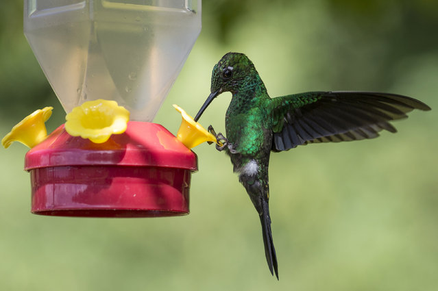 A Green Crowned Brilliant is pictured at a Hummingbird feeding station on January 15, 2016 in Alajuela, Costa Rica. Of the 338 known species of Hummingbird worldwide there are around 50 in Costa Rica. Hummingbirds are named for the distinctive sound made by their tiny beating wings, and are admired for their vibrantly coloured iridescent plumage. (Photo by Dan Kitwood/Getty Images)