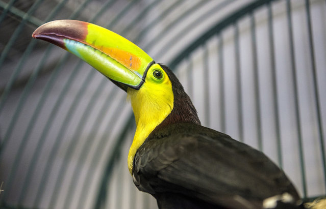 Fern, the toucan that flew out of Courtney Chapman's back yard aviary in Fullerton, Calif., in May, sits in a cage at Omar's Exotic Birds in Brea, Calif., Thursday morning, December 29, 2016. (Photo by Mark Rightmire/The Orange County Register via AP Photo)
