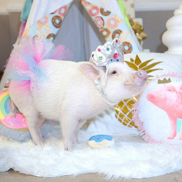 Hamlet the micro pig may already be a hit on Instagram, but its not stopped her from hogging the limelight on her birthday. Known for her adorable costume play, the miniature pig, from Pasadena, California, celebrated her first birthday in style, inviting all her furry Instagram friends to join her party. Pictured wearing a bright pink tutu and a tiara fit for a princess, Hamlet, who is named after Lady Hamlet from the Shakespeare play, shows that shes no boar when it comes to partying. Here: Hamlet enjoying his birthday party. (Photo by Caters News)