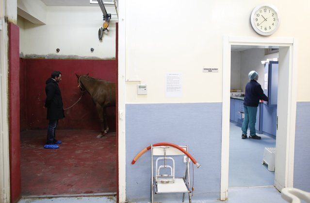 A racehorse waits for an an anaesthetic in the induction and recovery box as a veterinarian (R) prepares for an operation at Veliefendi equine hospital in Istanbul March 4, 2015. (Photo by Murad Sezer/Reuters)