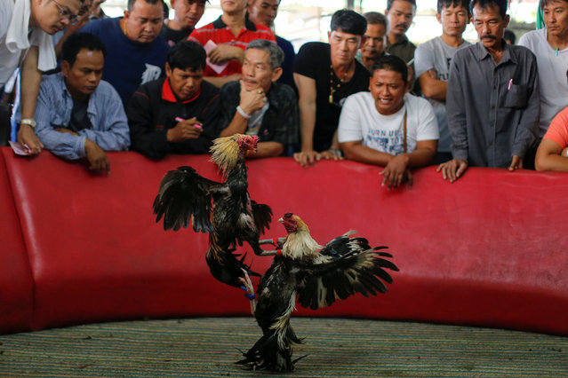 """A cockfight is seen during the event organised to celebrate the Lunar New Year and the year of the Rooster on the outskirts of Bangkok, Thailand January 29, 2017. Prized birds faced off in front of thousands of spectators at a stadium near Thailand's capital on Sunday as celebrations for the Year of the Rooster brought a windfall for some. Although cockfighting is banned in many countries on grounds of animal cruelty, it is a lucrative business in Thailand as well as a popular pastime. Sunday's top bird sold for over $70,000. """"This year is a very good year for us. It's the year of the golden rooster. The value of the roosters has gone up"""", said Banchej Changyai, 55, who was running the contest south of Bangkok on the second day of celebrations for the Lunar New Year. Each fight involves two roosters facing off in a pit. They lurch at each, inflicting damage with beaks and wings. Each round is 22 minutes long, and there can be up to six rounds depending on the roosters' endurance. """"Today, the rooster brought me a lot of money. I love cockfighting, it's a hobby of mine"""", said Narongsak Sealee, 22, after winning 500,000 baht ($14,170) at the Thedthai cockfighting stadium in Samut Prakan province. Unlike in many countries, the Thai cocks do not fight to the death. Instead, the first bird to cower away loses. """"This rooster is so good that it gives me, the owner, a great reputation and makes me very happy"""", said Virat Patcharaphangkorn, after buying the event's prize rooster for 2.5 million baht ($70,840). (Photo by Jorge Silva/Reuters)"""