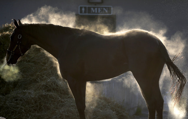 Steam rises from a horse as it gets a bath after a morning workout at Churchill Downs Tuesday, April 28, 2015, in Louisville, Ky. (Photo by Charlie Riedel/AP Photo)