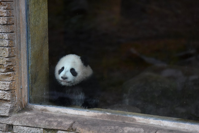 "A five-month-old giant panda ""Chulina"" in her enclosure at the city zoo in Madrid, Spain on February 7, 2017. (Photo by Jorge Sanz/Pacific Press/SIPA Press/Rex Features/Shutterstock)"