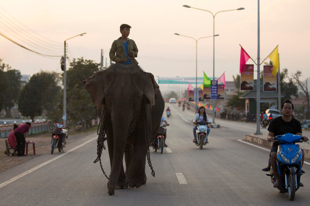 A mahout rides an elephant before taking part in an elephant festival, which organisers say aims to raise awareness about elephants, in Sayaboury province, Laos February 16, 2017. (Photo by Phoonsab Thevongsa/Reuters)