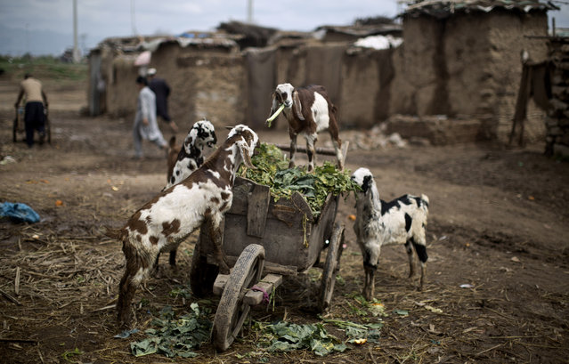 Goats eat vegetable leaves, from a wooden-cart belonging to a Pakistani man working in a wholesale fruit and vegetable market, in a poor neighborhood, on the outskirts of Islamabad, Pakistan, Tuesday, March 25, 2014. (Photo by Muhammed Muheisen/AP Photo)