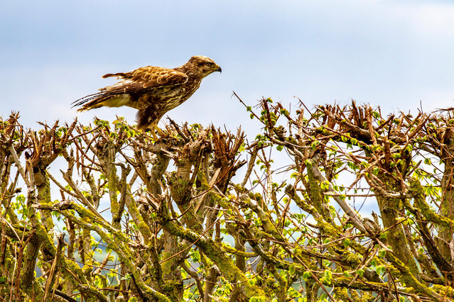 A common buzzard (Buteo buteo) perched on a hedgerow in Wilton, Northamptonshire, UK. (Photo by Keith J. Smith/Alamy Stock Photo)