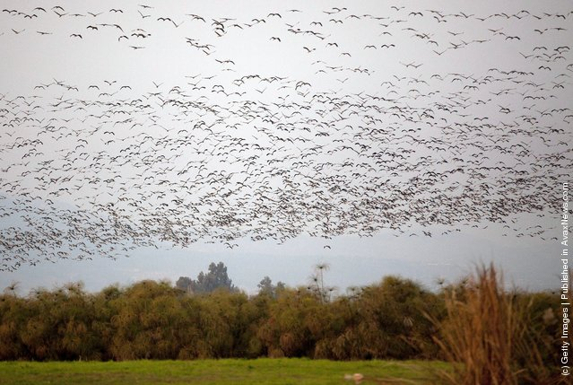 Migrating gray cranes fly over the Hula Lakes in in northern Israel