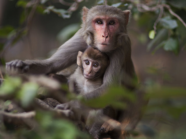 """""""Monkeys of the Taj"""". There is something incredible about the moment you make eye contact with wildlife… Like this one instance when I was outside the Taj Mahal in India. This beautiful mother monkey and her baby looked straight at me, and I was able to catch it before they jumped to another tree. Photo location: Agra, India. (Photo and caption by Tessa Kit Zawadzki/National Geographic Photo Contest)"""