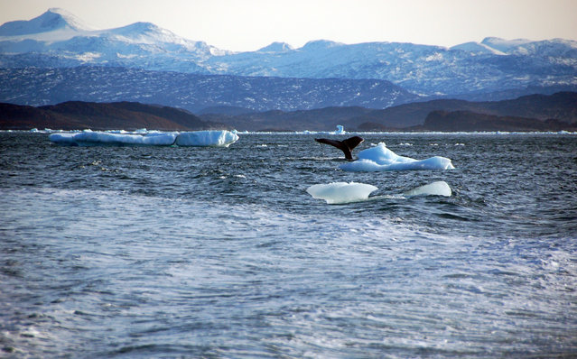 A whale dives into sea off the coast of Greenland's capital Nuuk October 17, 2012. By a remote fjord where icebergs float in silence and hunters stalk reindeer, plans are being drawn up for a huge iron ore mine that would lift Greenland's population by four percent at a stroke - by hiring Chinese workers. (Photo by Alistair Scrutton/Reuters)