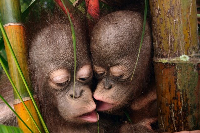"""These cheeky young orangutans managed to behave themselves for a few minutes as they huddled together for a """"family portrait"""". (Photo by Mitsuaki Iwago/Minden Pictures/Solent News & Photo Agency)"""