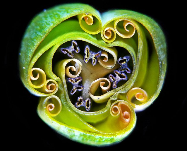 9th Place: Andrei Savitsky, Cherkassy, Ukraine. Tulip bud cross section. Reflected Light, 1x (Objective Lens Magnification). (Photo by Andrei Savitsky/Nikon's Small World 2019)