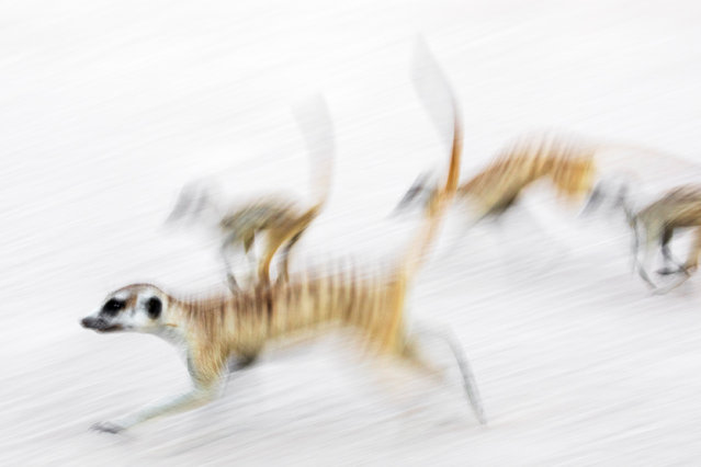 """Runner-up, mammals: Meerkats on the move – Ann Toon (UK). """"The image shows members of a small mob of meerkats ( Suricata suricatta) dashing across the sand in the Kgalagadi Transfrontier park, on the South African side of the reserve. They are headed to their sleeping quarters to spend the night underground safe from the Kalahari's predators. I had been shadowing this colony for several days, photographing their behaviour. They were always on the move while at the same time keeping the tight social bond of the group. Here, I used a slow shutter speed to convey this behaviour"""". (Photo by Ann Toon/2019 GDT European Wildlife Photographer of the Year)"""