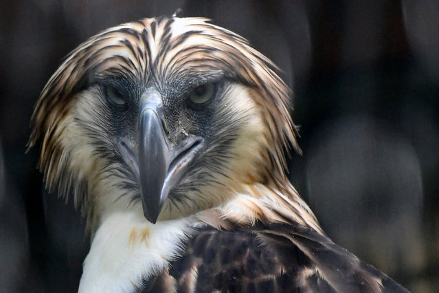 A male Philippine eagle named Geothermica is seen in an exclosure at Jurong Bird Park in Singapore on November 27, 2019. Singapore unveiled two Philippine eagles at its main aviary November 27, the first breeding pair of the critically endangered raptors to be brought outside their native country as part of a conservation plan. (Photo by Roslan Rahman/AFP Photo)