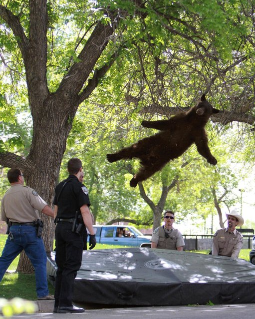 A bear that wandered into a University of Colorado Boulder dorm complex falls from a tree after being tranquilized by Colorado wildlife officials on April 26