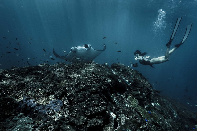 Here real life mermaid Julia is diving with manta rays in Bali and looks incredible swimming among them while holding her breath for four and a half minute. (Photo by Julia Wheeler/Caters News Agency)