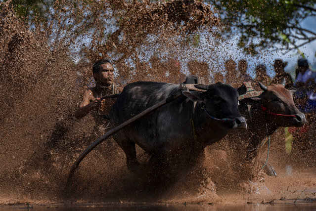 """A jockey takes part in a traditional cattle race or """"Pacu Jawi"""", to mark the end of the rice harvest in Tanah Datar, West Sumatra, Indonesia August 13, 2016. (Photo by Hafiz Mubarak A./Reuters/Antara Foto)"""
