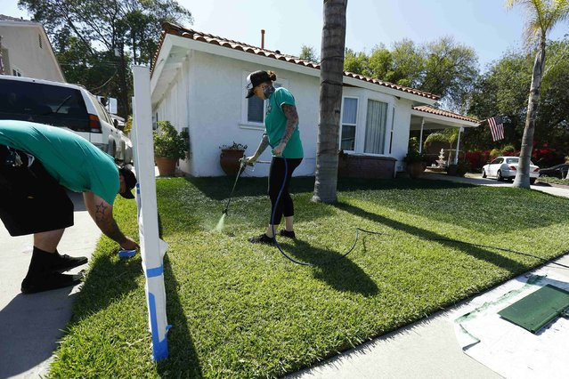 Drew McClellan of A lucky Lawn and his wife Deb paint green dye onto drought affected grass at a home in Santa Fe Springs, California October 1, 2014.  McClellan's small business has taken-off as home owners are preferring to dye their lawns green than face water restrictions and a rising water bill as California deals with one of the worst droughts in its history. (Photo by Mike Blake/Reuters)