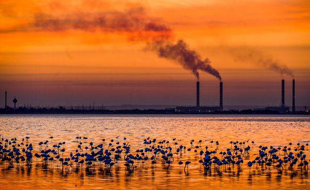 A photo made available on 19 December 2016 of a flock of flamingos and other birds gathering at the seaside with the silhouette of an industrial site of the nearby metropole in background during a colorful sunset in Kuwait City, Kuwait, 18 December 2016 evening. (Photo by Raed Qutena/EPA)